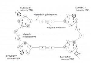 DNA budowa
