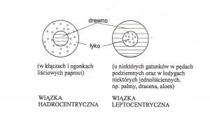 wiazka hadro ileptocentryczna
